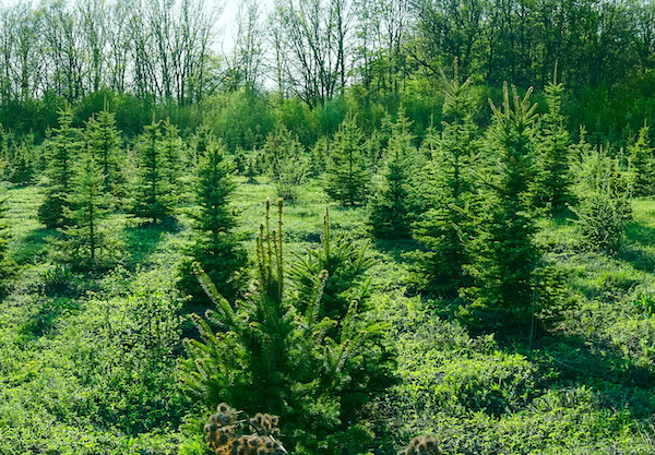 Where To Buy Christmas Trees In And Around Swindon